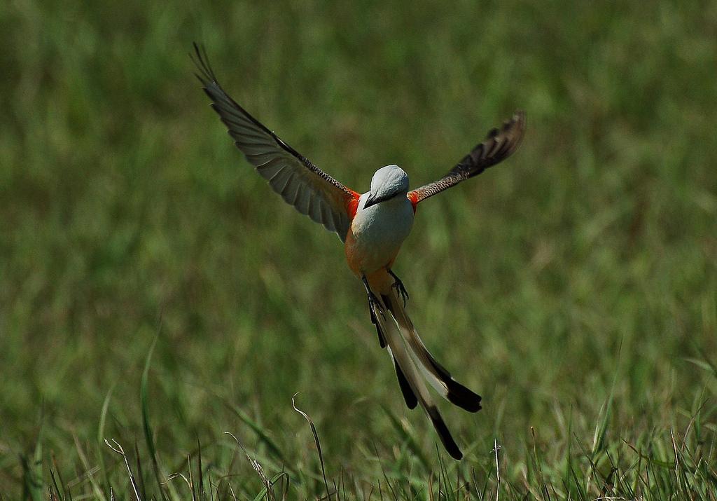 Scissor-tailed Fly Catcher, Austwell, TX -- Photo by Art Drauglis
