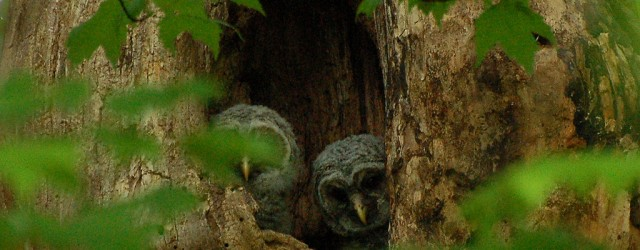 Barred Owlets photographed Rock Creek Park (c) A. Drauglis