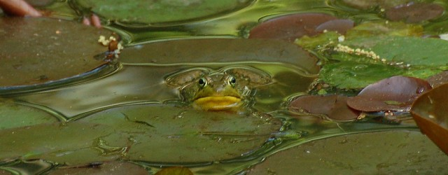 Green Frog, National Arboretum, Washington DC (c) A. Drauglis